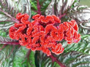 celosia flower celosia flower pictures meaning