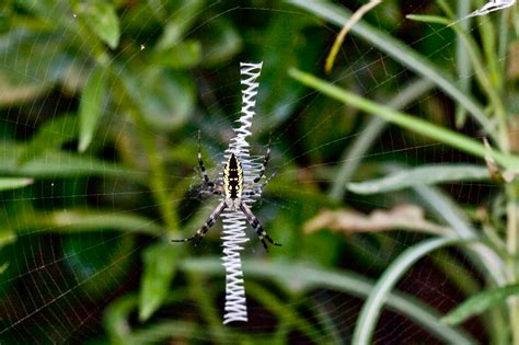 spiders with zig zag pattern on web file yellow garden spider zig zag web jpg wikimedia commons