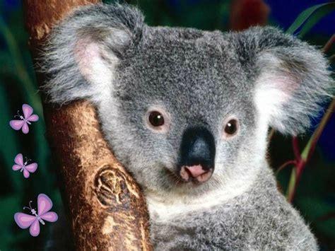 imagenes bellas de koalas fondos animados para celular de animales imagenes para