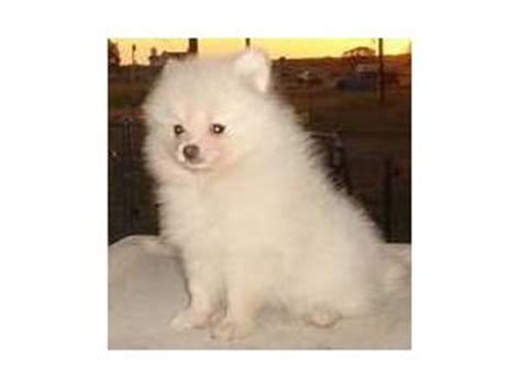 pomeranian breeders in arkansas pomeranian puppies in arkansas