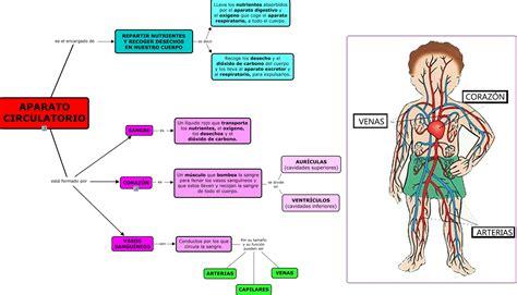 el cuerpo lleva la aparato circulatorio