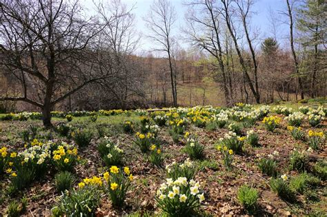 Longfield Gardens by Best Daffodils For Naturalizing Longfield Gardens