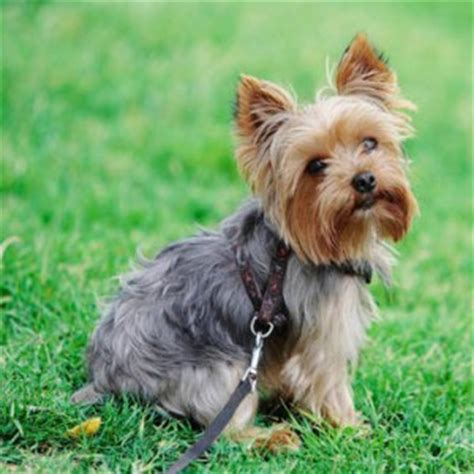why yorkies are the best dogs best food for yorkies small stomach picky appetite