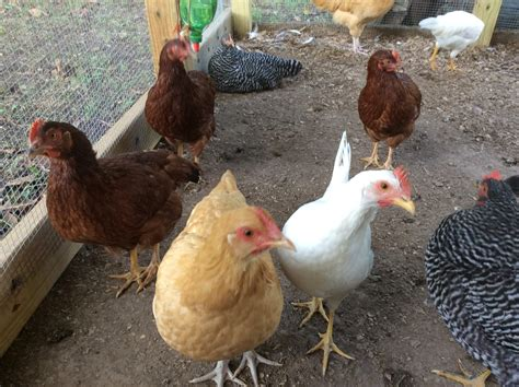 Backyard Chickens Nanaimo Had A Bunch Of Pullet Delivered May 1st Am I Just