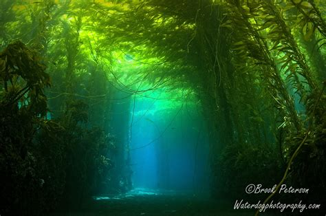 kelp bed kelp the magical underwater forest waterdog photography