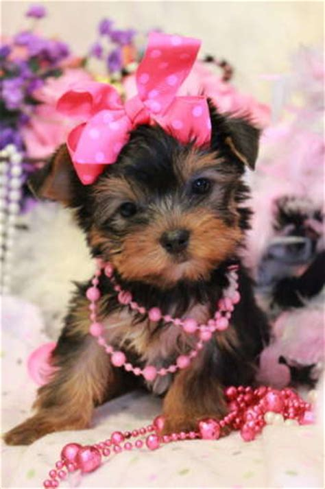 cheap teacup yorkie breeders cheap teacup yorkie puppies for sale in nj