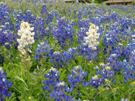 Online Color Scheme Generator by White Texas Bluebonnets Rustic Images Foundmyself