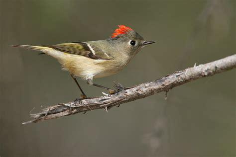ruby crowned kinglet audubon field guide