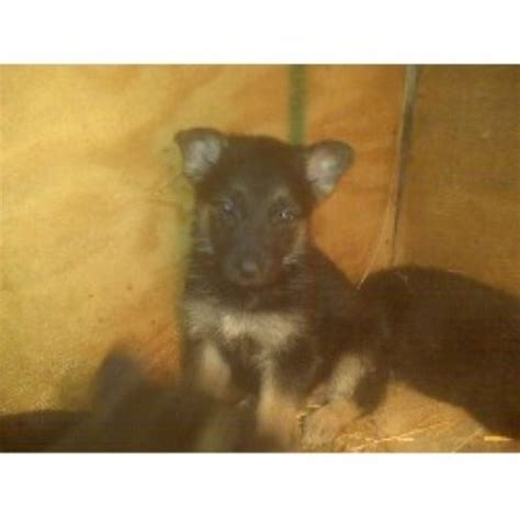 black german shepherd puppies illinois german shepherd gsd alsatian breeders in illinois freedoglistings