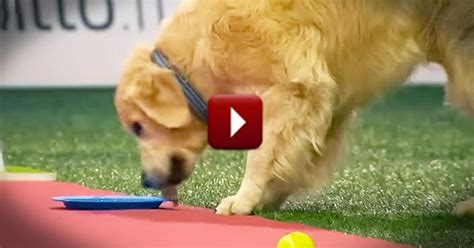 what do golden retrievers eat hilarious golden retriever stops in the middle of a race to eat treats comedy