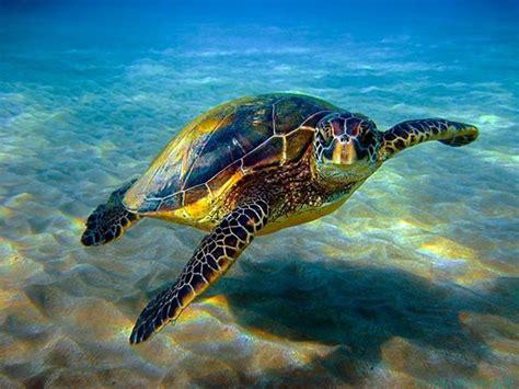google images turtle honu sea turtle google search i love turtles pinterest