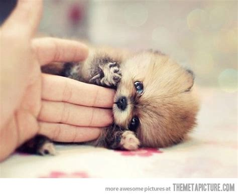raccoon pomeranian pomeranian puppy or raccoon check out this pom i on it looks