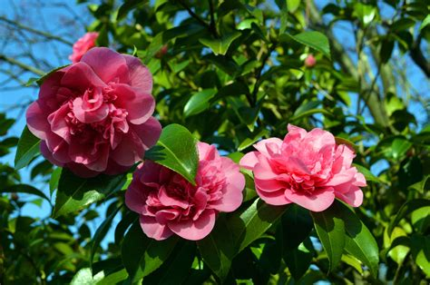 camellia feeding tips how and when to fertilize camellia