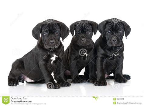 black corso puppies three adorable corso puppies stock photo image 34875510