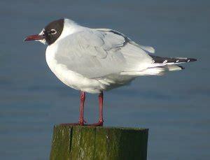 quanto vive un gabbiano schede uccelli g da gabbianello a ghiandaia