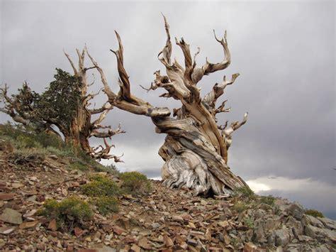 bristlecone pine tree california mystic captive mammoth lakes bristlecone pines