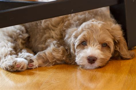 cost of labradoodle puppy how much does an anatolian shepherd cost howmuchisit org part 195