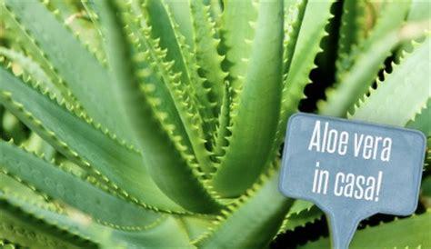 pianta aloe vera in casa piante da interni l aloe vera coltivarla in casa 232