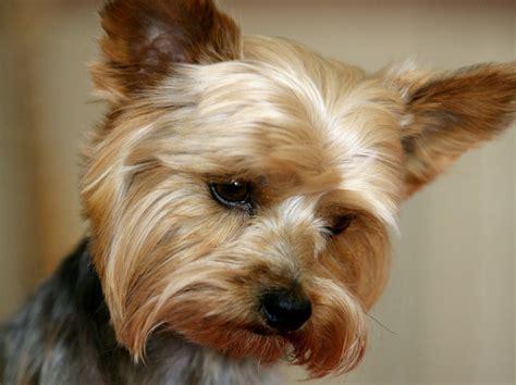yorki terrior terrier perrosamigos