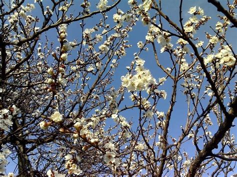 fiori albicocco albicocco prunus armeniaca prunus armeniaca frutteto