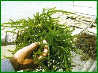 Rumput Laut Euchema Cottoni rumput laut sebagai obat dan makanan yang baik