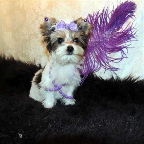 parti yorkie yorkies for sale buy teacup parti yorkie pup