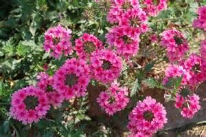 jeannie s fairy rose louisiana garden verbena