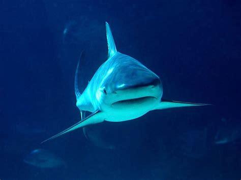 imagenes impresionantes de tiburones im 225 genes del mundo animal tiburones