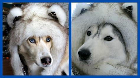 Giveaway Dogs - brown husky spirithoods giveaway gone to the snow dogs siberian husky love