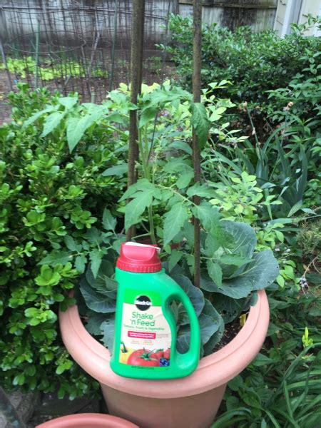 tomato plant care and feeding birmingham gardening today