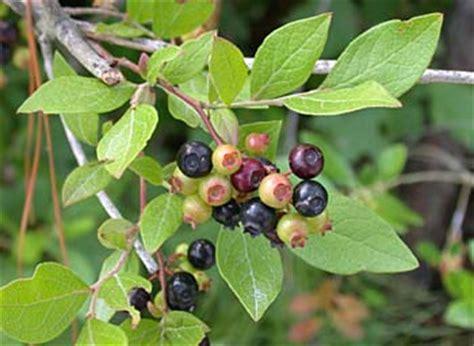 small black tree black highbush blueberry vaccinium fuscatum