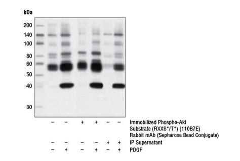 sepharose immunoprecipitation phospho akt substrate rxxs t 110b7e rabbit mab