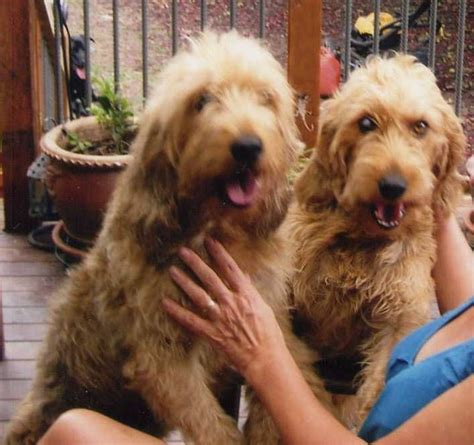 otterhound puppies for sale small otterhound look alikes ross on wye herefordshire pets4homes
