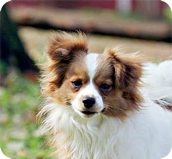 cavalier pomeranian mix zach adopted south amboy nj cavalier king charles spaniel pomeranian mix