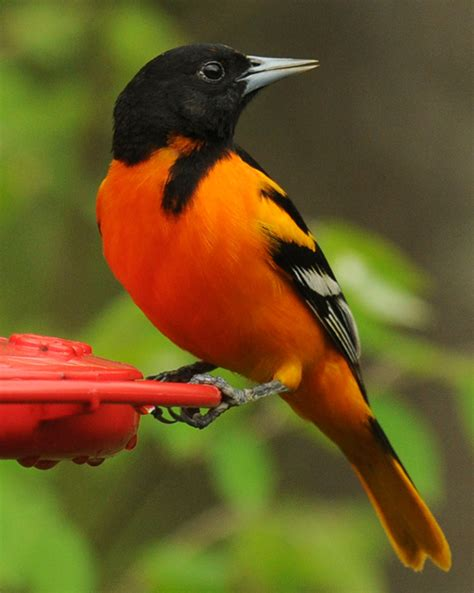 picture of a oriole bird baltimore oriole i see all around by rob paine