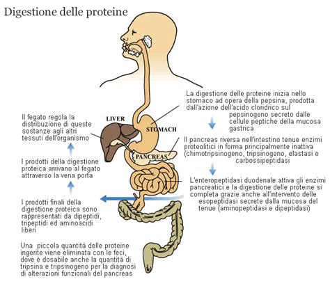 digestione alimenti digestione delle proteine