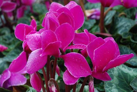 fiore ciclamino ciclamino cyclamen cyclamen piante da interno