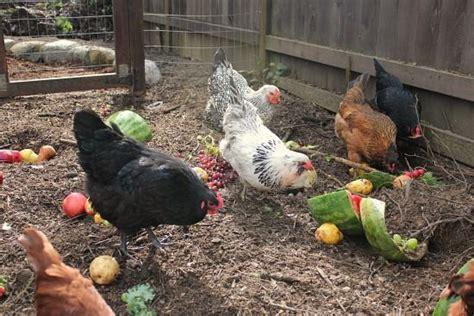 Backyard Chickens Food Backyard Chickens Entertaining Chickens