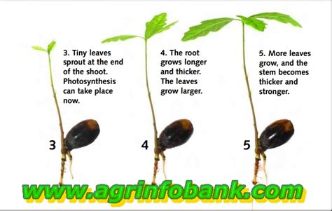 do seeds need light to germinate how does a plant grow agriculture information bank