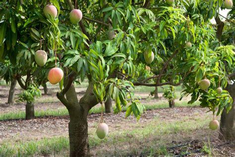 come si coltiva il limone in vaso a pi 241 ata farms mango tree abc rural australian