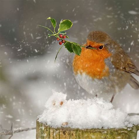 beautiful winter bird followthewestwind christmas robin
