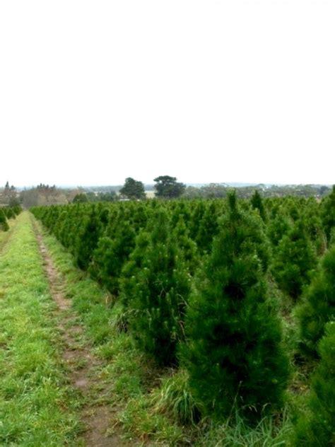 paddock christmas trees photo albums fabulous homes