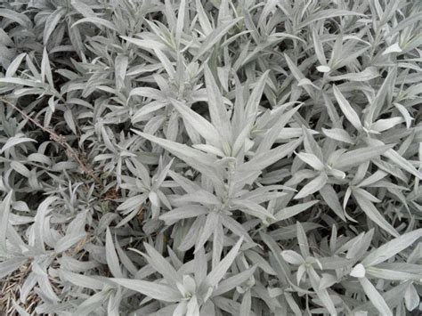grey foliage plants pin by miriam rosenbloom on plants