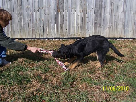 german shepherd puppies for sale in wv ayers german shepherd puppies for sale wv picture breeds picture