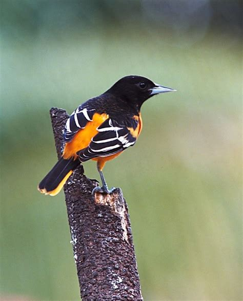 northern oriole bird watching pinterest