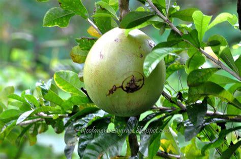 miracle tree fruit grace balderas miracle fruit or calabash tree cujete