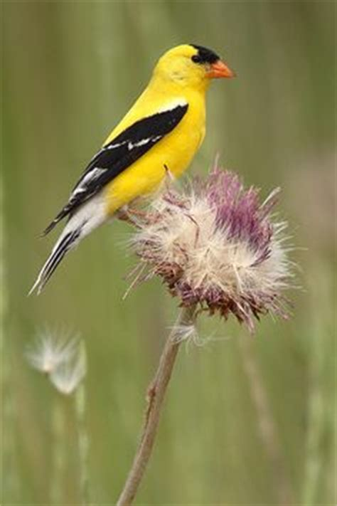 1000 images about gold finch on pinterest goldfinch