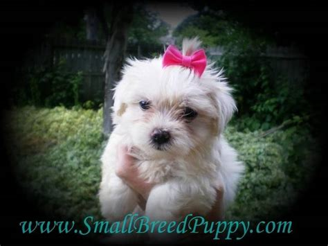 shih tzu maltese puppies for sale in michigan mal shi maltese shih tzu hybrid puppies for sale adoption from