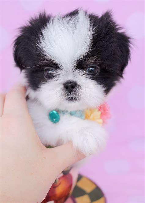 shih tzu puppies idaho shih tzu puppies for sale south florida teacups puppies boutique
