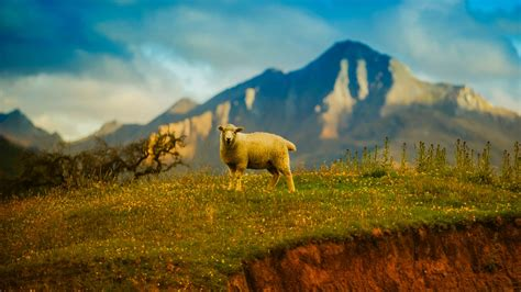 zealand sheep  wallpapers hd wallpapers id